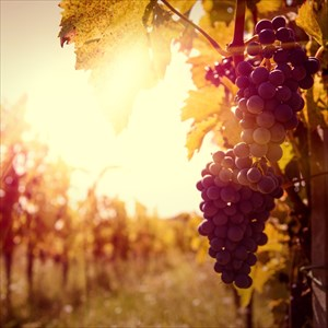 Vineyards at sunset with grapes in autumn harvest