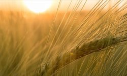 field of barley in the sunshine, aviv barley, abib barley